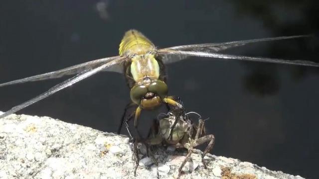 Vercors, libellule, metamorphose